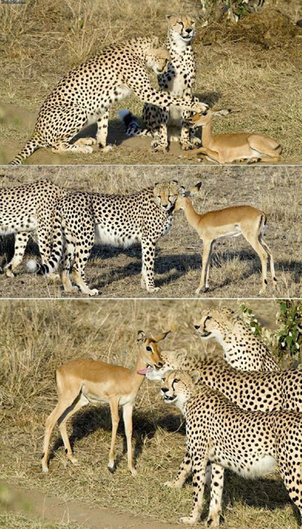 gepard-a-impala