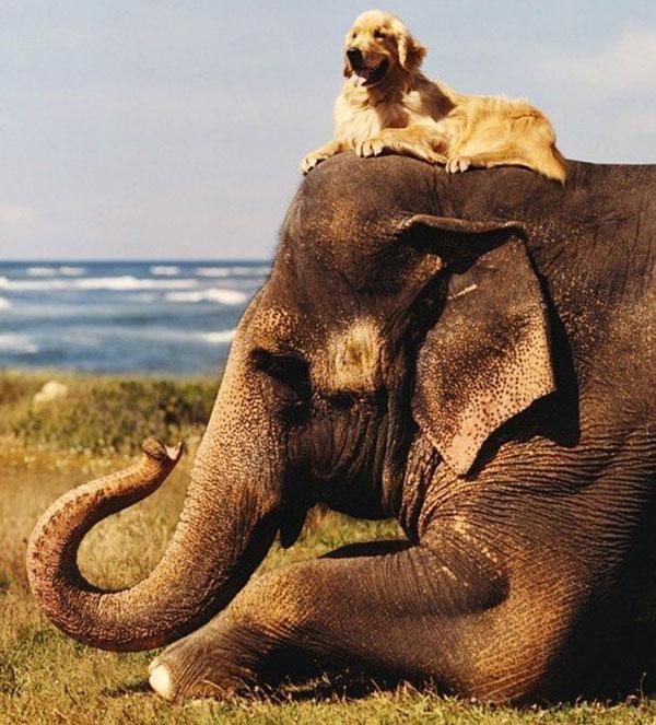 slon-pes