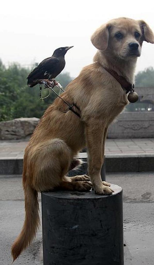 pes a vrana