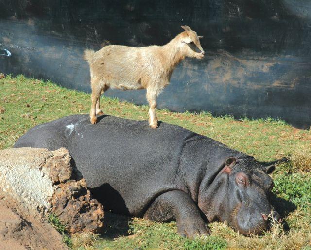 Hroch a koza