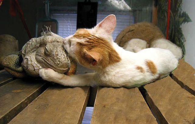 Mačka a leguán