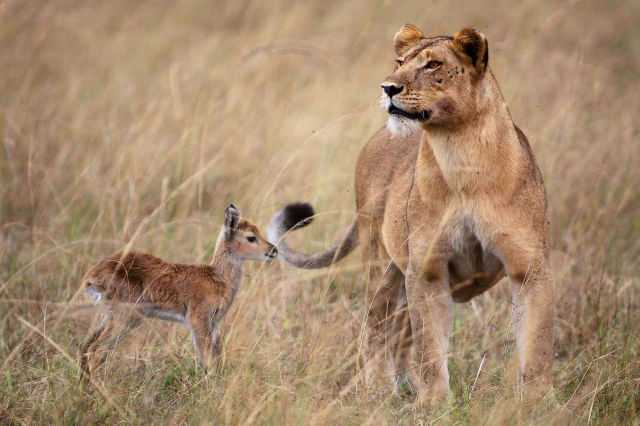 Impala a levica